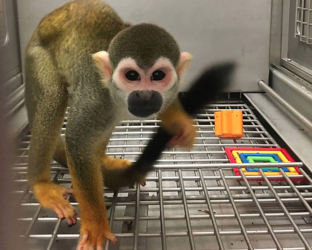 One of 26 monkeys that were moved from a lab in Arkansas to Jungle Friends Primate Sanctuary in Florida is shown in this photo submitted by the sanctuary.