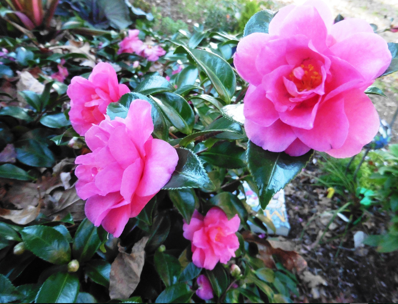 Can Do Camelias When Everything Else Is Gray Camellias Bloom In