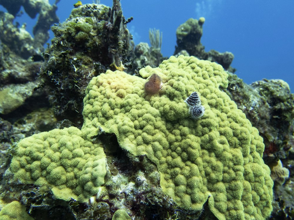 Christmas Tree worms emerge from a colony of green mustard hill coral on a reef off of Cat Island, Bahamas.