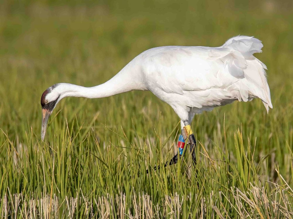 Seen through a long-range camera lens, the whooping crane L4-17 wears a yellow transmitter and red and blue ID bands. (Special to the Democrat-Gazette/DELOS McCAULEY)