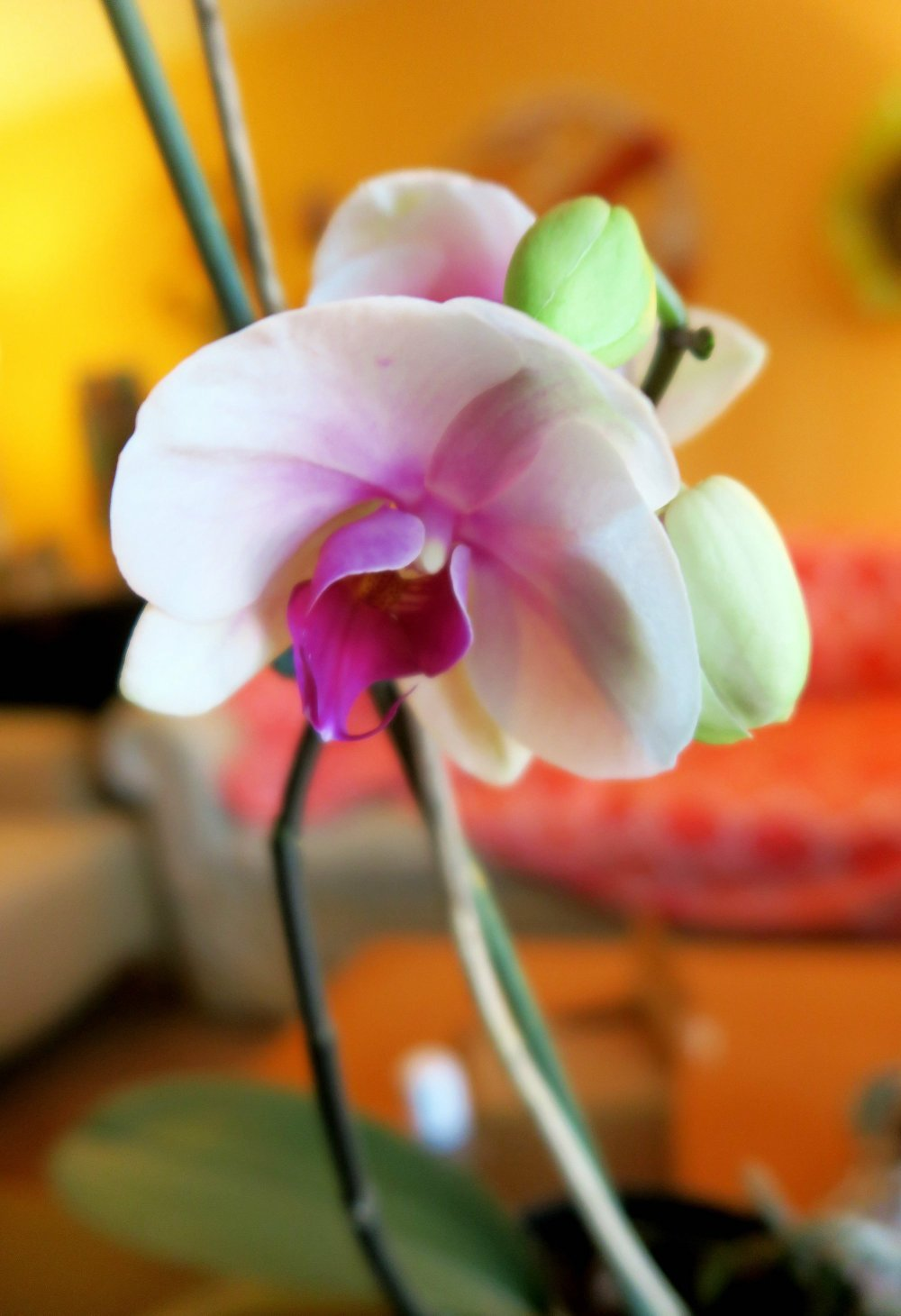 Phalaenopsis orchids will re-bloom if given the relatively easy care the plants require to thrive indoors..Special to the Democrat-Gazette/JANET B. CARSON