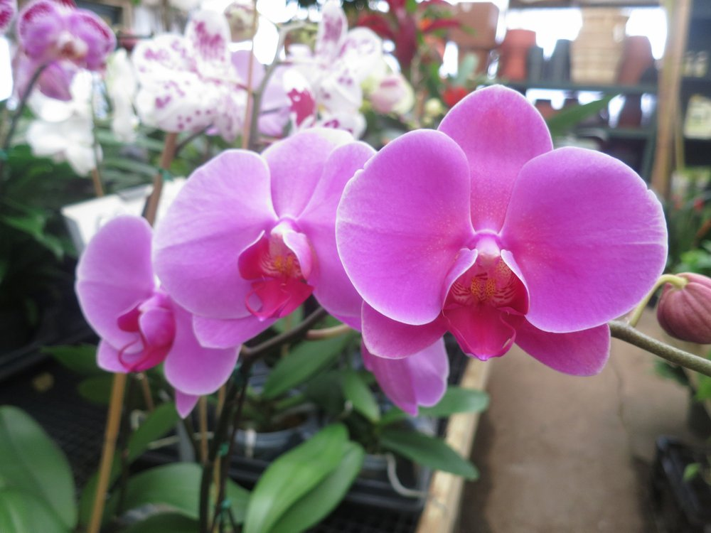 Phalaenopsis orchids can stay in bloom for weeks, but when purchasing it's wise to select a plant with a few still-to-open buds on the stalk.Special to the Democrat-Gazette/JANET B. CARSON