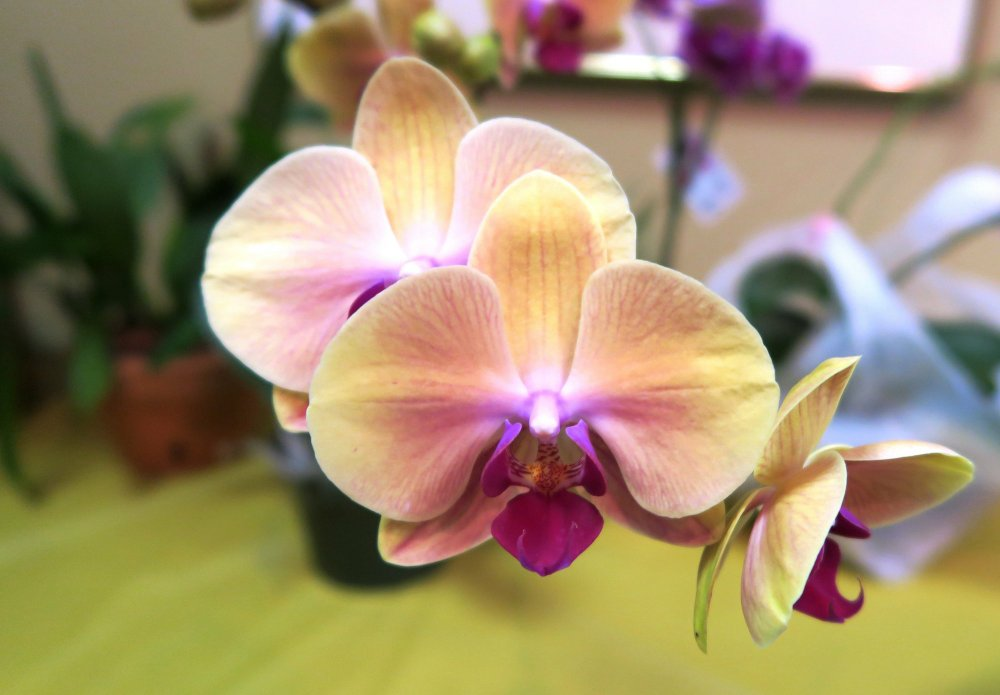 Phalaenopsis orchids are easy to grow as houseplants, and their natural colors can be exciting or subtle blends, like this. But some of the vivid blue or purple phalaenopsis sold in grocery stores and garden centers are dyed.Special to the Democrat-Gazette/JANET B. CARSON