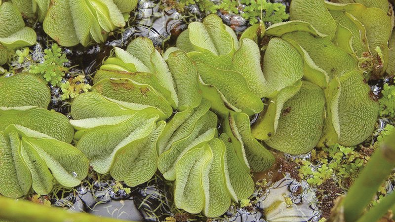 The Giant Salvinia invasive plant species.