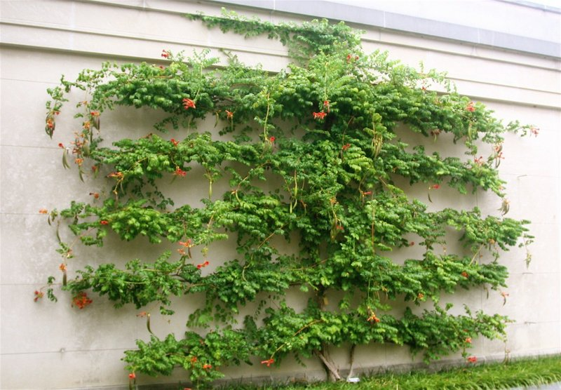 Fruit Trees Great Candidates For Espalier Pruning