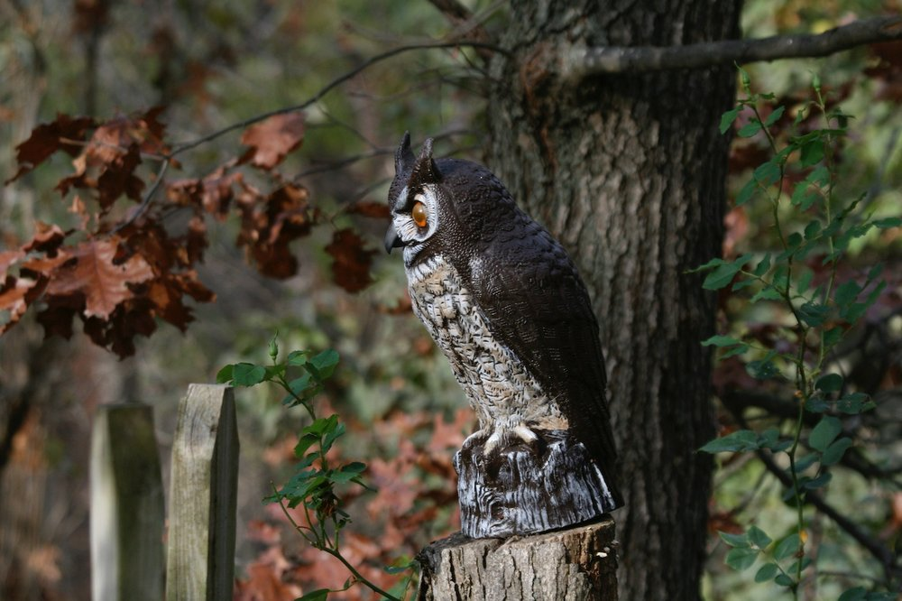 AP/DEAN FOSDICK Predator-like decoys, such as this owl decoy, can lessen the degree of woodpecker damage but unless they're moved from time to time, won't discourage them for long.