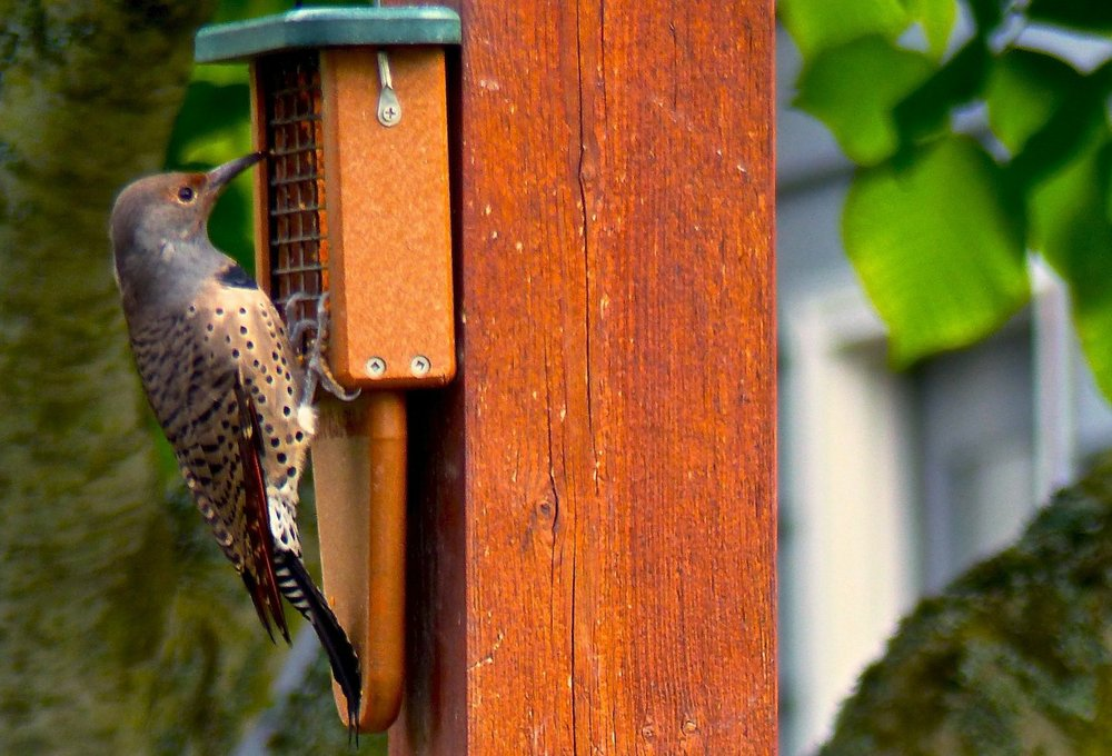 A Northern Flicker feeding at an oversized suet feeder built especially for woodpeckers. Some birds are more aggressive eaters than others so it's wise to feed at different locations using different kinds of seeds and feeders. Photo by Dean Fosdick via AP