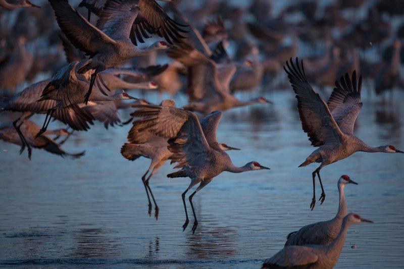 Stalking Elusive Sandhill Crane From >> March Magic With Nebraska S Cranes