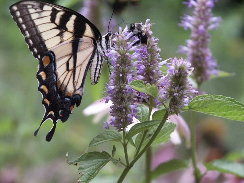 Anise and hyssop have medical uses. Special to the Democrat-Gazette