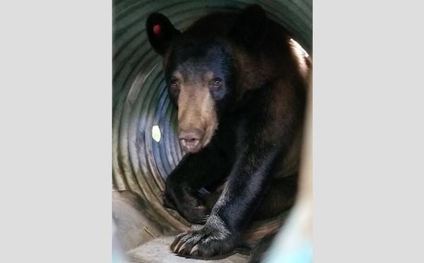 Bear spotted, captured in southwest Arkansas