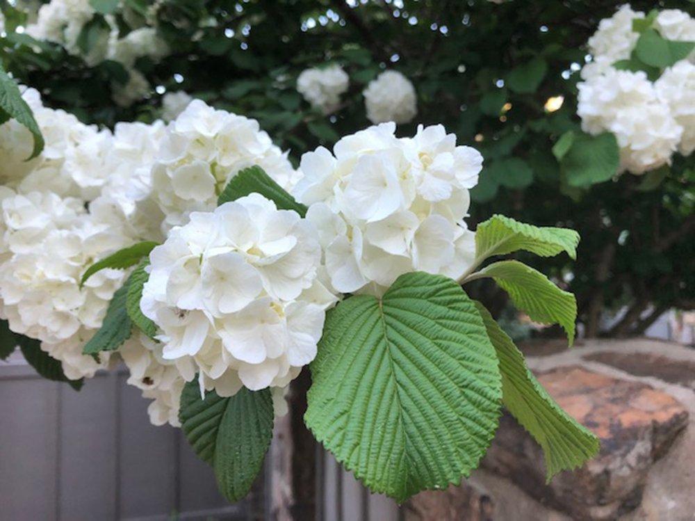 Viburnums come in many varieties, including this Viburnum plicatum. (Special to the Democrat-Gazette)