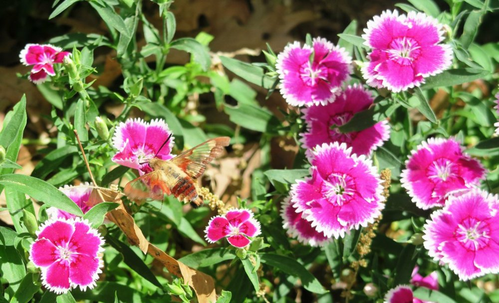 A sphinx moth sips from dianthus, pollinating in the process. (Special to the Democrat-Gazette/JANET B. CARSON)