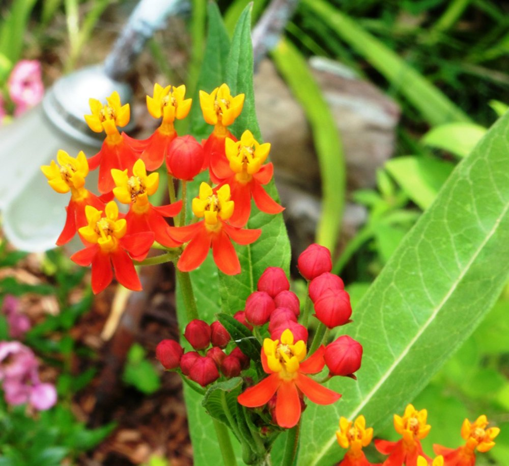 Milkweed is essential for Monarch butterflies, which are pollinators. (Special to the Democrat-Gazette/JANET B. CARSON)