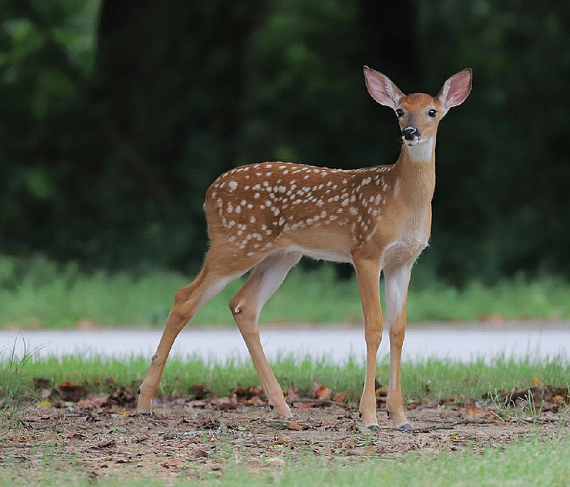 Board weighs Little Rock deer hunt amid concern