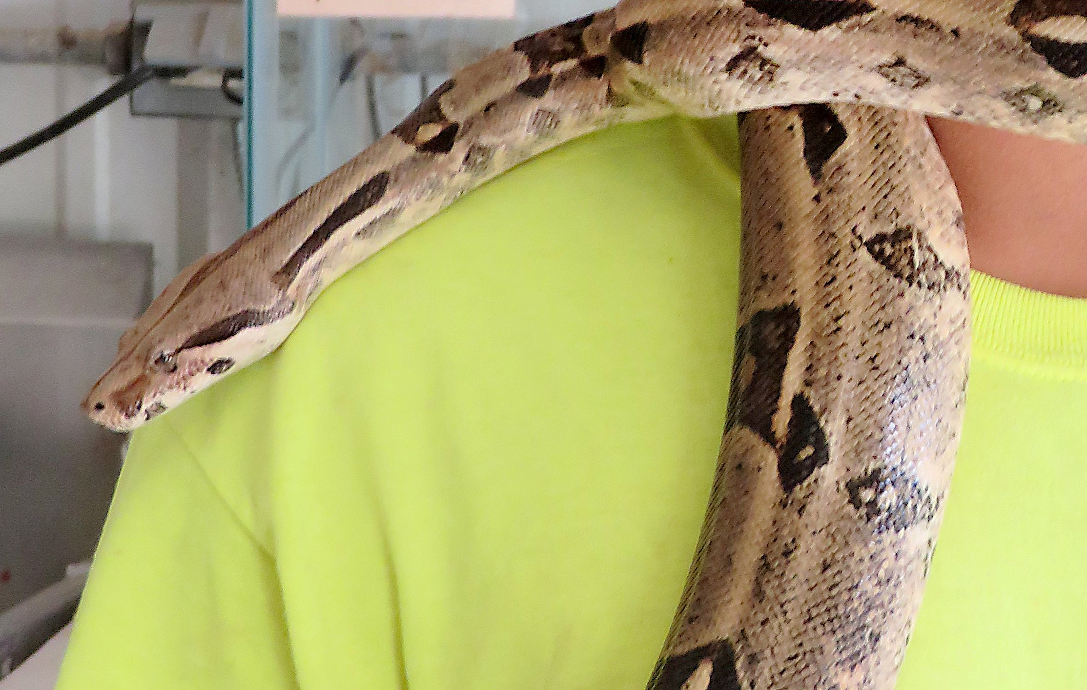 11-foot-long boa constrictor still on the loose; not a threat to children, officials say