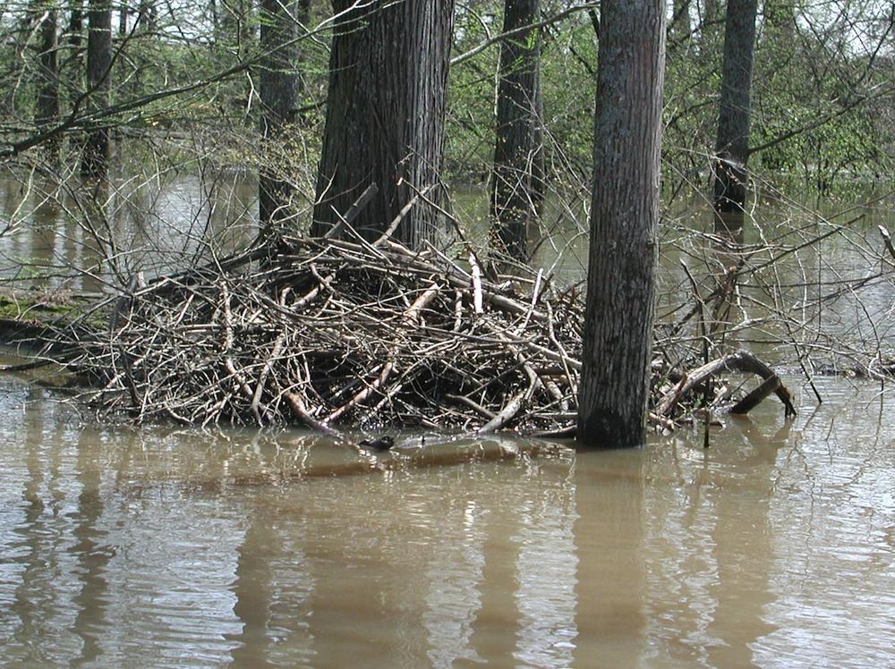 A beaver lodge on Bayou Bartholomew (Special to the Democrat-Gazette/DEBORAH HORN)