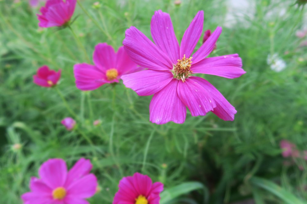 Cosmos is typically open-pollinated. (Special to the Democrat-Gazette by Janet B. Carson)