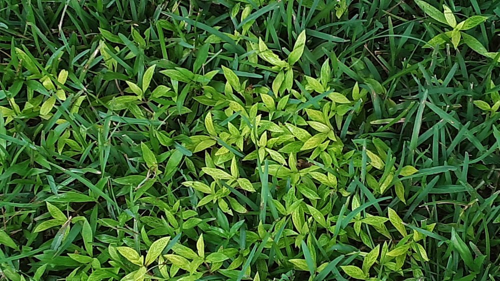 Virginia buttonweed is so low growing it can't be controlled by mowing. (Special to the Democrat-Gazette)