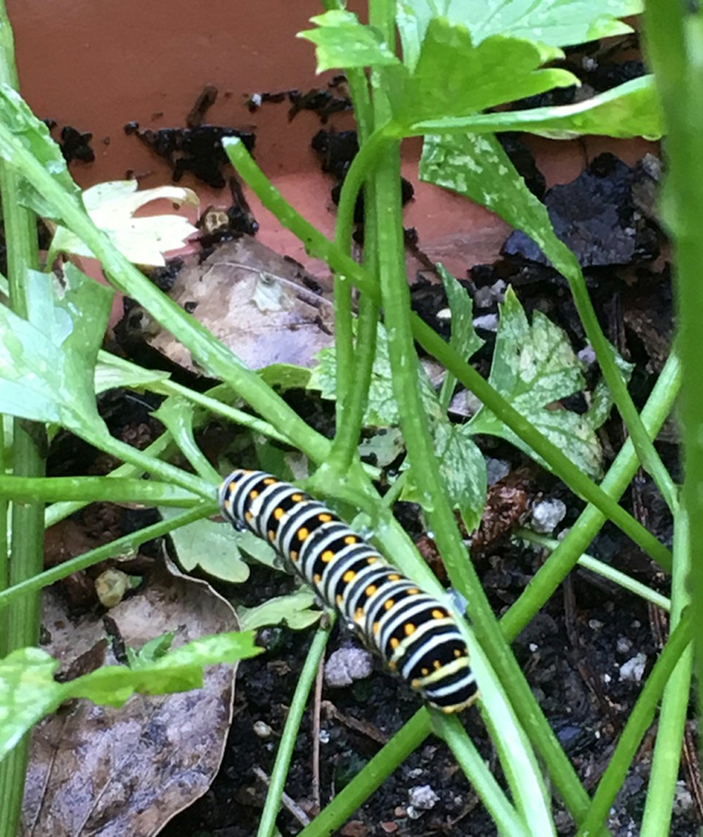 Swallowtail caterpillar eating parsley. (Special to the Democrat-Gazette)