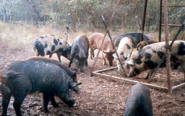 Feral pig post gets tweeters' potshots