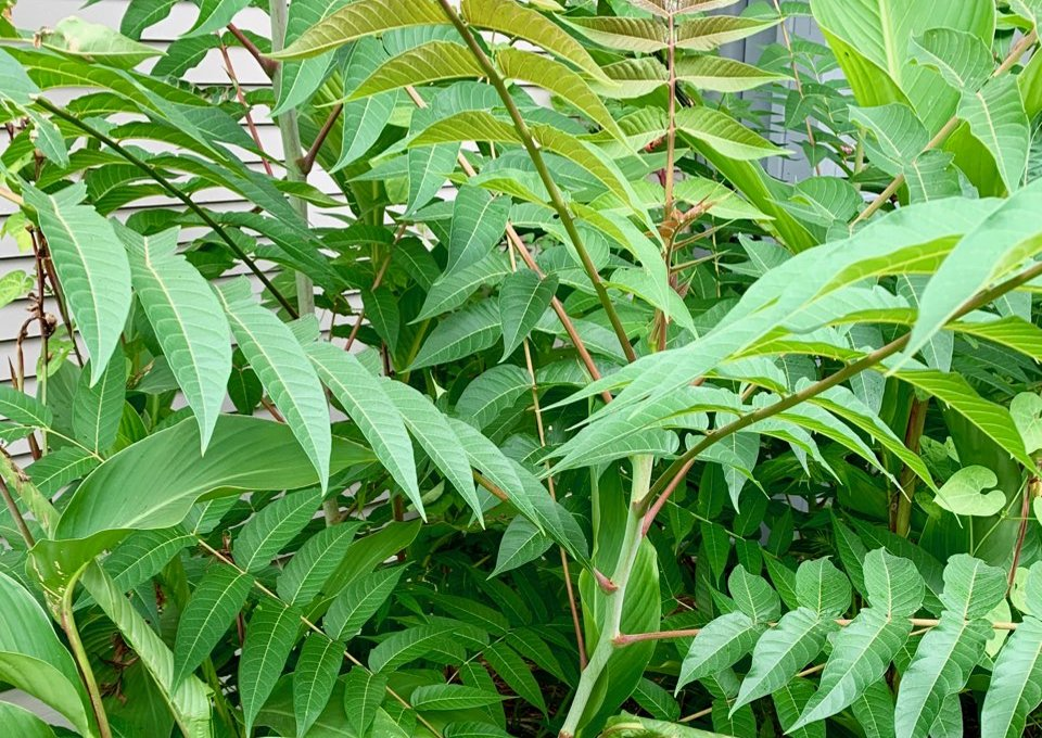 Ailanthus altissima, an invasive plant commonly called Tree of Heaven, spreads quickly by underground roots and also reseeds itself. (Special to the Democrat-Gazette)