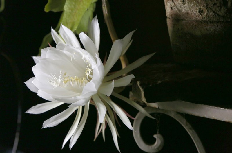 Video Cactus Blooms Only Once A Year At Night