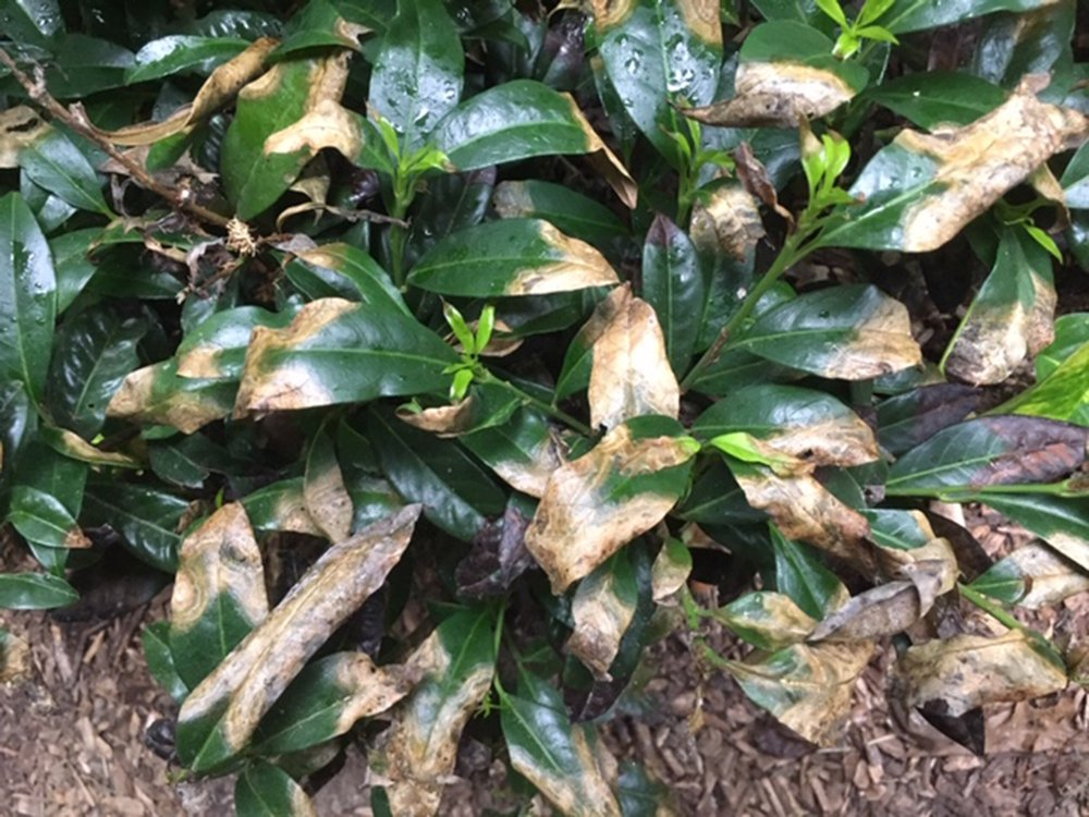 This cherry laurel's leaves have been burned, possibly by excessive fertilizer or lawn chemical overspray. (Special to the Democrat-Gazette)