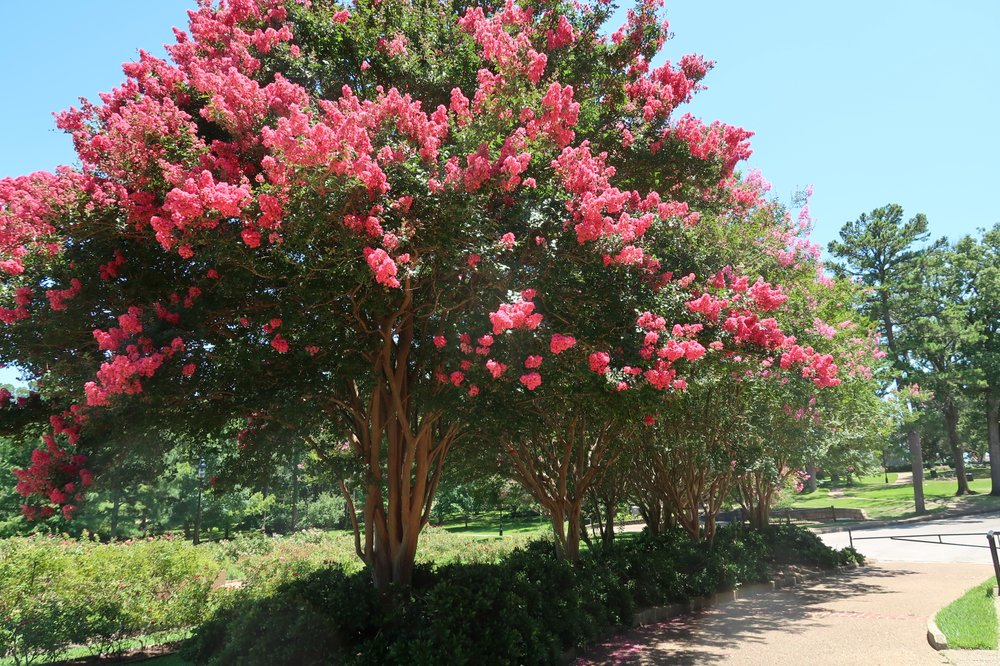 Crape myrtles do survive heavy pruning, but late September is not the best time to ask them to. (Special to the Democrat-Gazette/JANET B. CARSON)