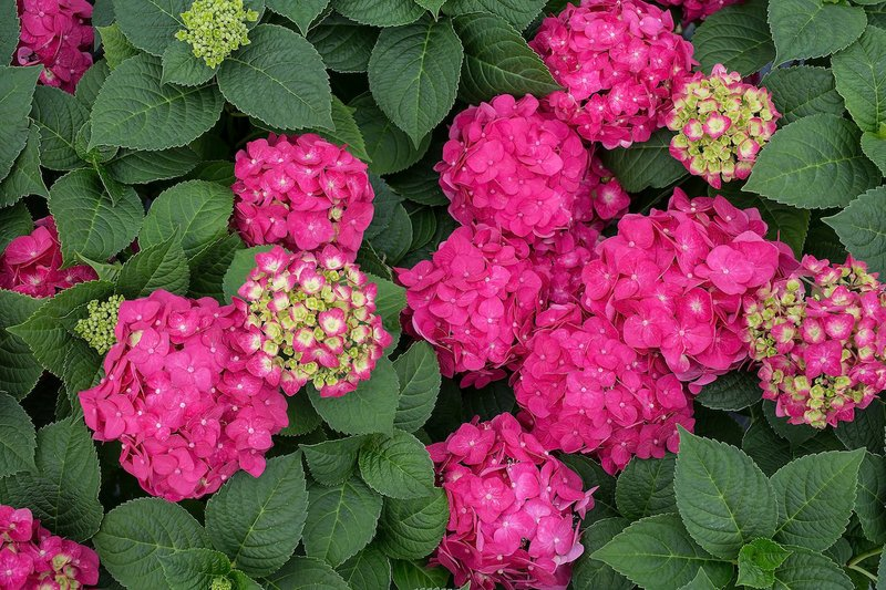 Repeat blooming plants gaining fans with plant growers and