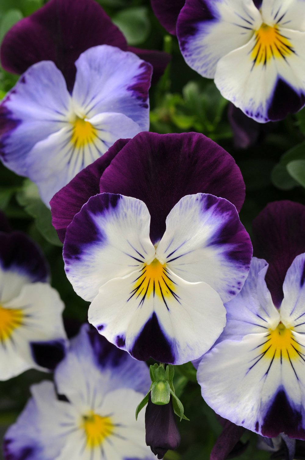 """Rather than face-like blotches, Cool Wave """"Violet Wing"""" spreading pansy flowers have vibrant color blocks and fine lines. (Photo via Arkansas Green Industry Association)"""