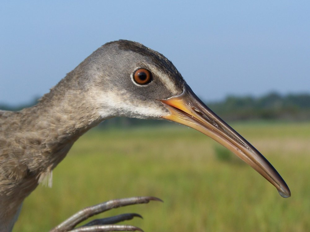 Clapper rail at Prime Hook National Wildlife Refuge. (U.S. Fish and Wildlife Service)