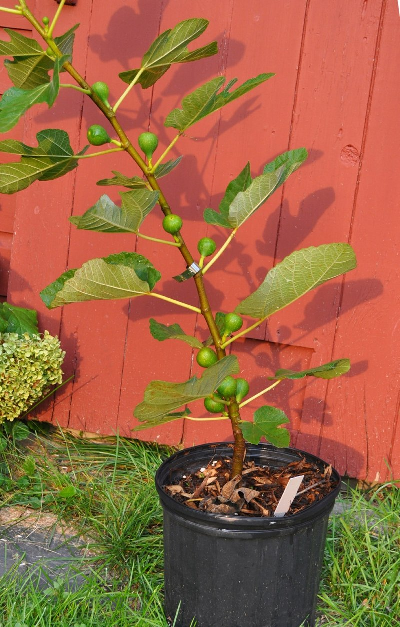 Growing Figs Can Be Rewarding If You