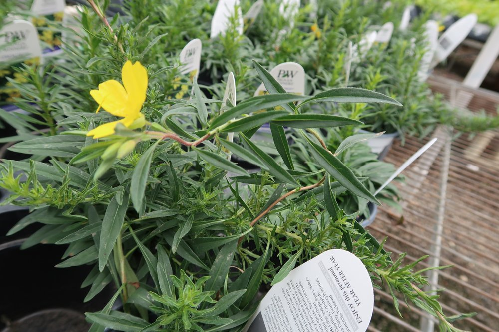 Some varieties of Onethera, or evening primrose, can spread aggressively. (Special to the Democrat-Gazette/JANET B. CARSON)