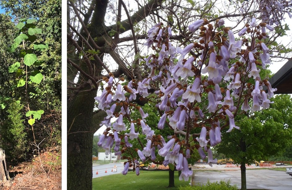 (Left) This young tree is a royal paulownia. (Right) The royal paulownia has showy purple blooms. It readily reseeds and is fast growing, but it is not a strong tree. (Special to the Democrat-Gazette (left) and Special to the Democrat-Gazette/JANET B. CARSON (right))