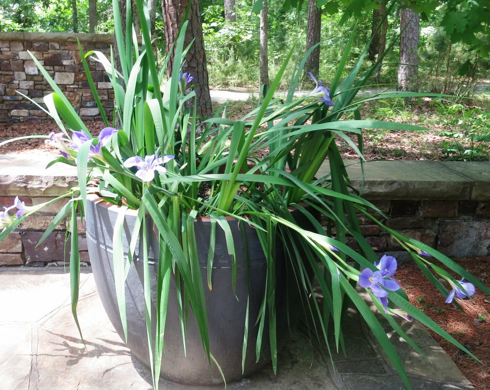 Tough plants that they are, irises should survive being transplanted to the ground. Just watch closely that they don't get heaved out of the soil by freezing winter temperatures. (Special to the Democrat-Gazette via Janet B. Carson)