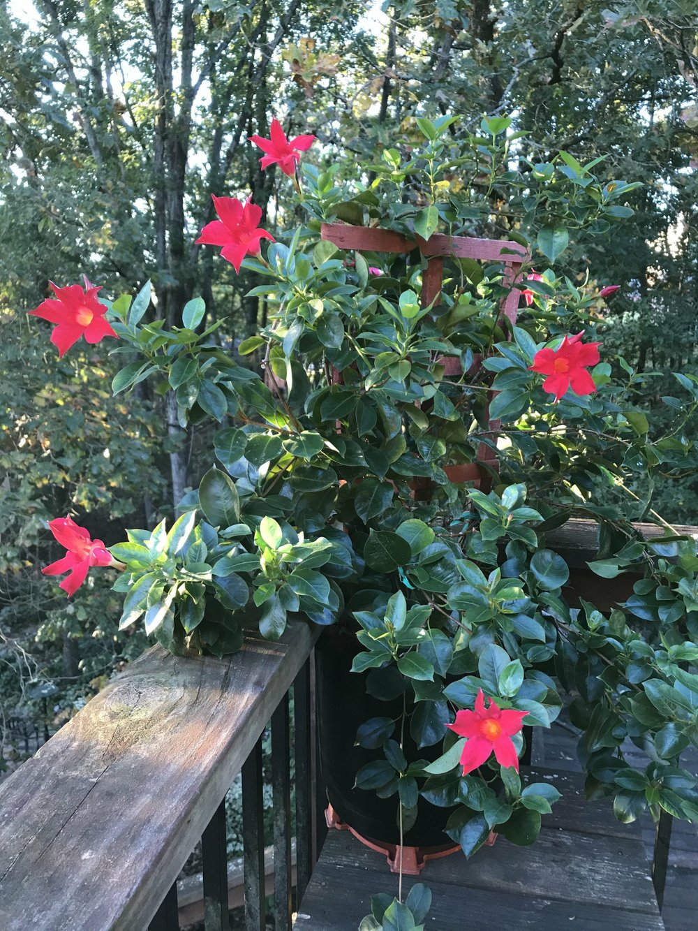 This lovely tropical flowering mandeville will not survive winter outdoors, but with care it can be saved for next year. (Special to the Democrat-Gazette via Janet B. Carson)