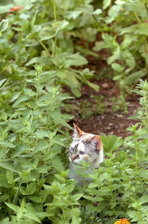 A cat roams a planting of fresh catnip in its owner's yard. Pesticide use and death by outdoor cats are blamed for a decline in bird populations. (Democrat-Gazette file photo)