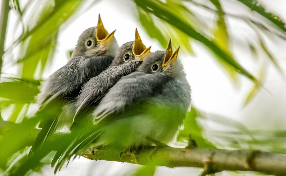 A clutch of blue-gray gnat catchers await a meal of insects. (Photo by Jane Gamble via The Washington Post)