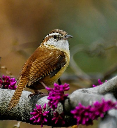 A Carolina wren sits on a redbud tree; redbuds support numerous insect species. (Photo by Jane Gamble via The Washington Post)