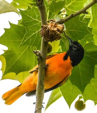 A Baltimore oriole has a snack on an American sycamore. (Photo by Jane Gamble via The Washington Post)
