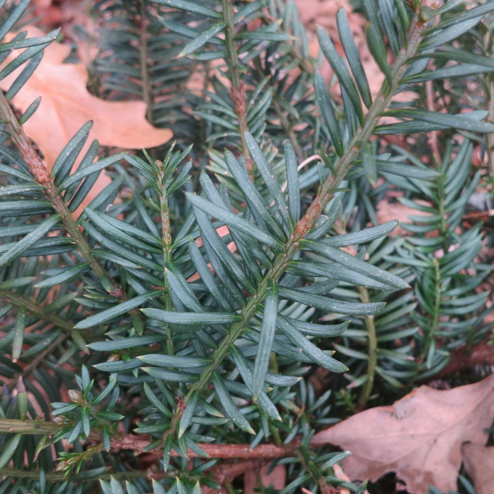 Plum yew and other hardy shrubs benefit from being planted in the fall. (Special to the Democrat-Gazette/JANET B. CARSON)