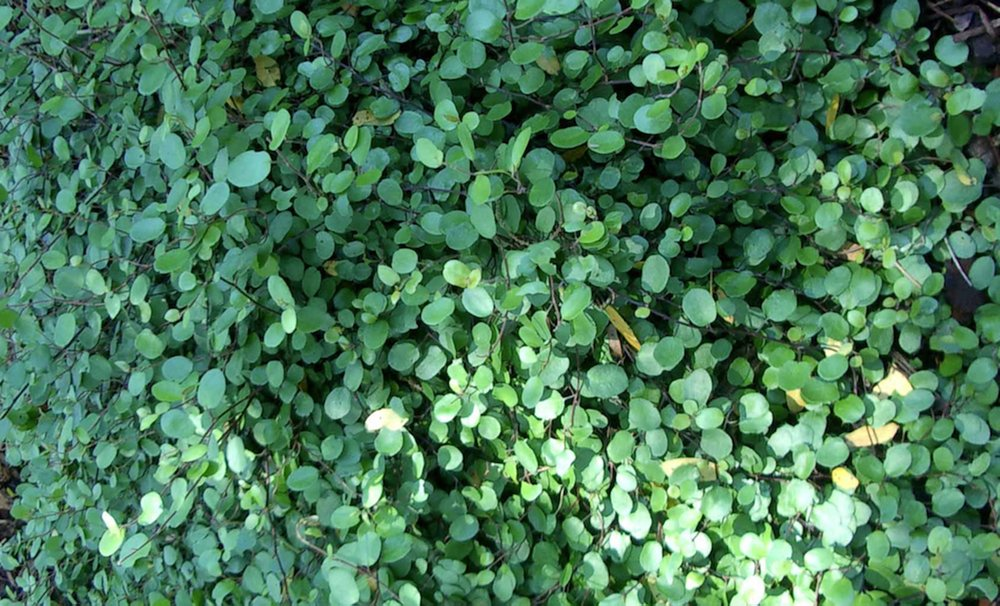 Partridge berry is a shade-loving native ground cover. (Special to the Democrat-Gazette/JANET B. CARSON)