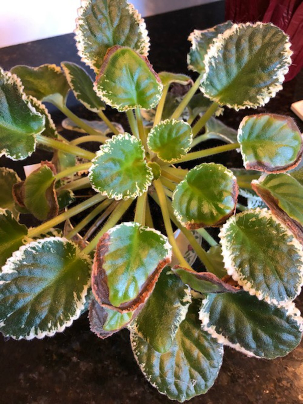Brown edges on the foliage of this African violet worry its owner. (Special to the Democrat-Gazette)