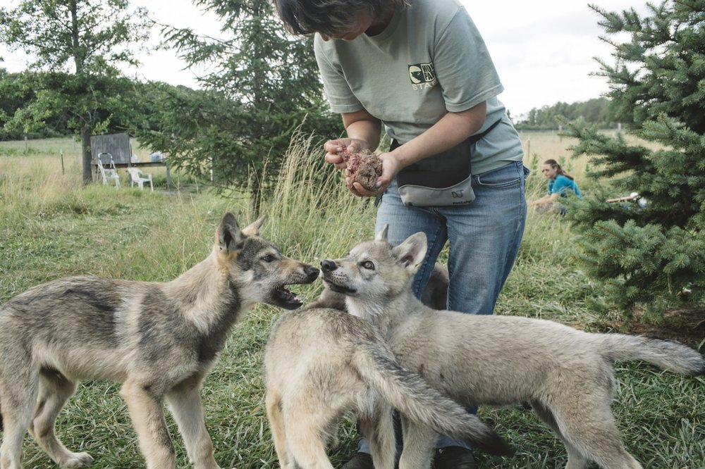 Dana Dreznek feeds pups at Wolf Park in Indiana, a nonprofit education and research facility where wolves are socialized, in Lafayette, Ind., Nov. 14, 2019. (The New York Times/ANDREW SPEAR)