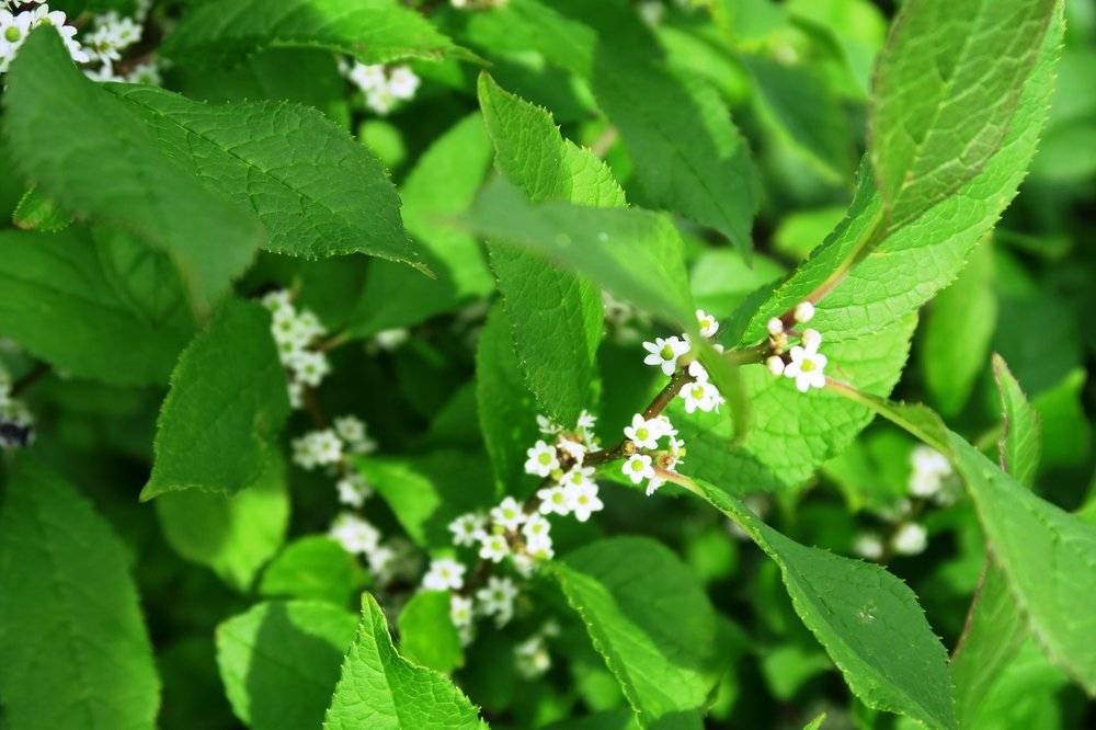 'Sparkleberry' is a variety of deciduous holly. (Special to the Democrat-Gazette/Janet B. Carson)