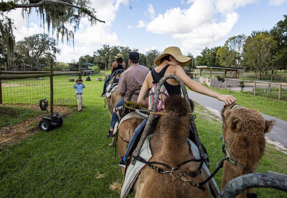 A camelback safari provides a unique outdoor experience at Giraffe Ranch in Dade City. (TNS/Orlando Sentinel/Patrick Connolly)