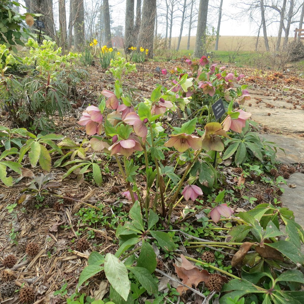 Winter-blooming Hellebores come in several heights. (Special to the Democrat-Gazette/Janet B. Carson)