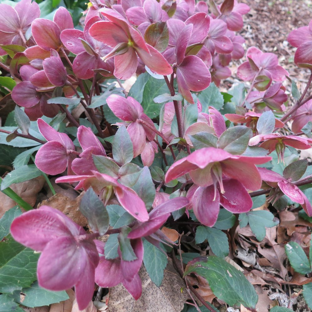 Hellebores are elegant additions to the shady garden. (Special to the Democrat-Gazette/Janet B. Carson)