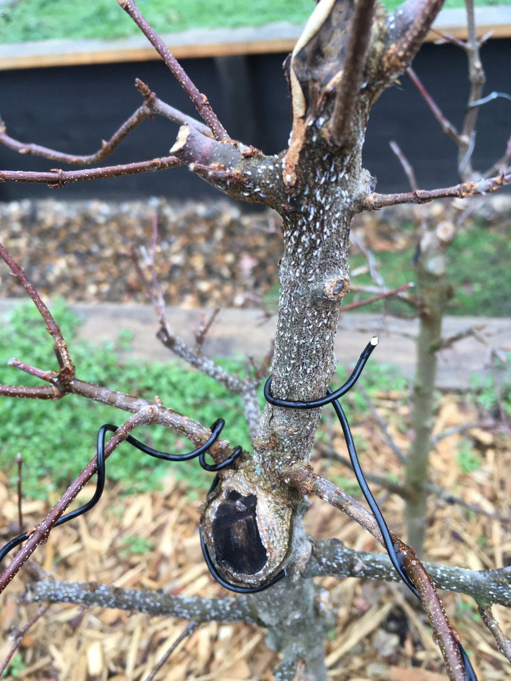 Scale insects have infested this Japanese maple. (Special to the Arkansas Democrat-Gazette)