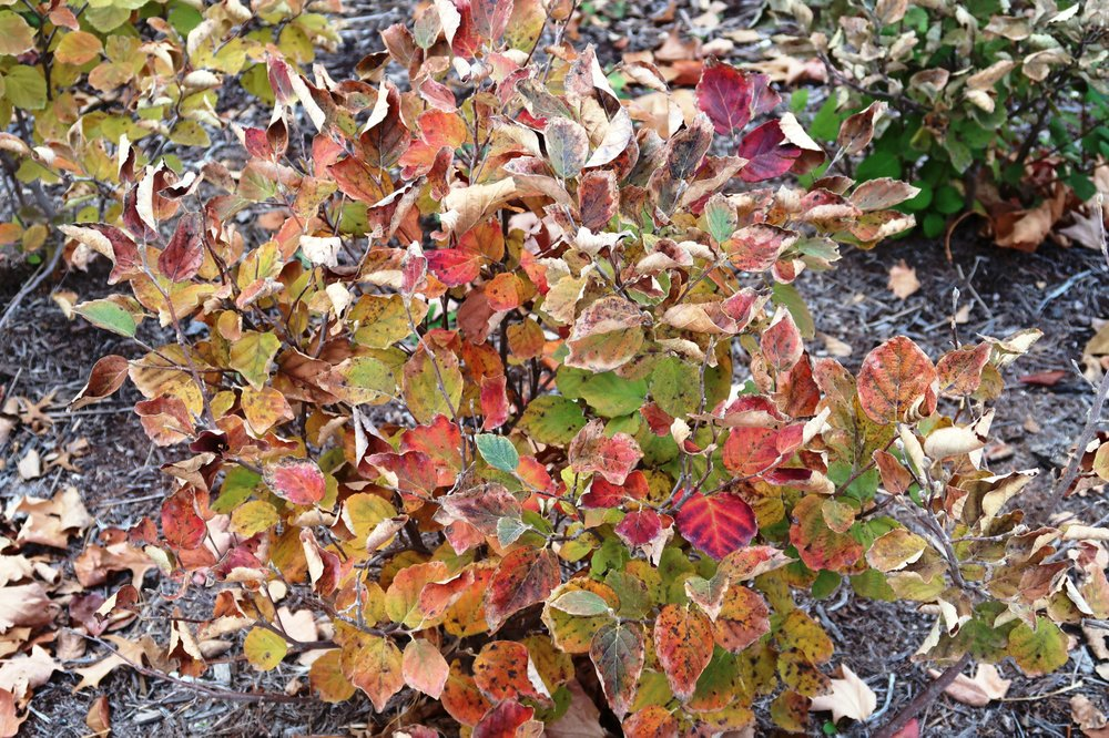Fothergilla's foliage turns brilliant colors before the leaves shed for the winter. (Special to the Arkansas Democrat-Gazette/Janet B. Carson)